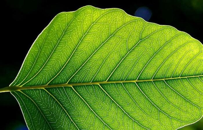 Искусственные листья, вырабатывающие электроэнергию.