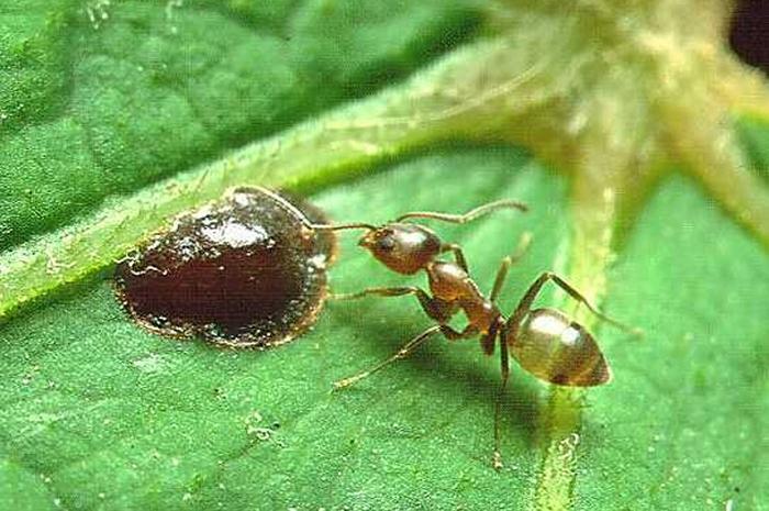 Как аргентинские муравьи создают колонии на различных континентах.