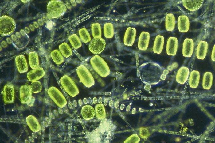Научный факт о фитопланктоне.