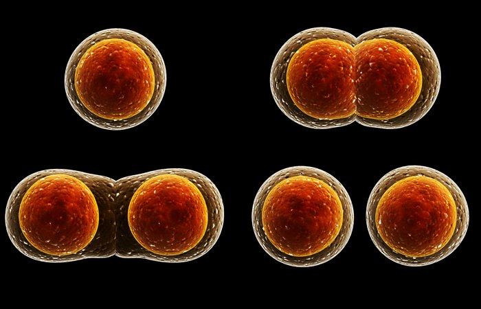 Научный факт: деление клеток.