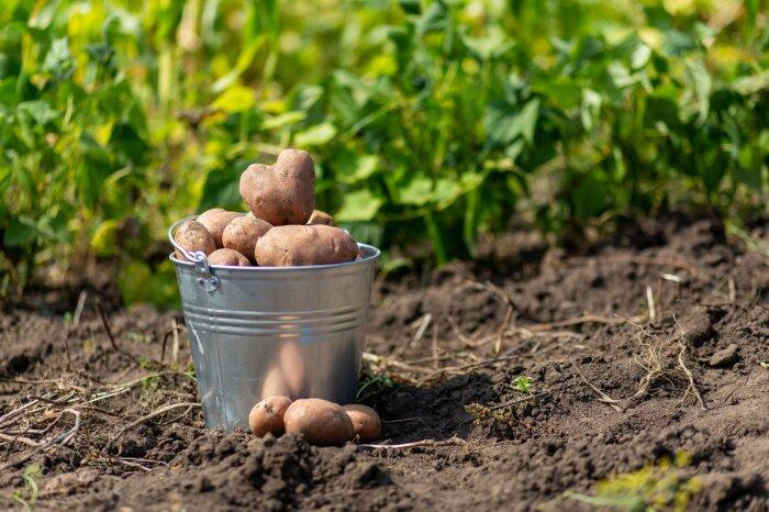 Картошка должна быть правильной. |Фото: myseldon.com.