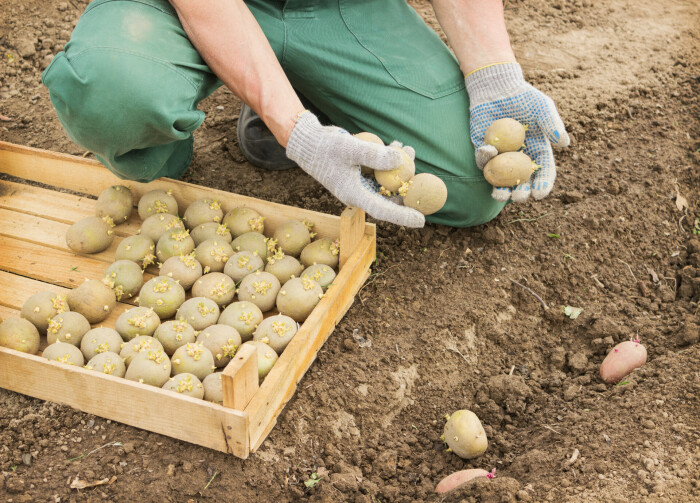 Купить картошку следует в специальном магазине. |Фото: 2sotki.ru.