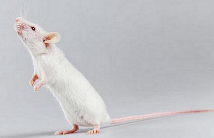 Мышам были привиты ложные воспоминания.