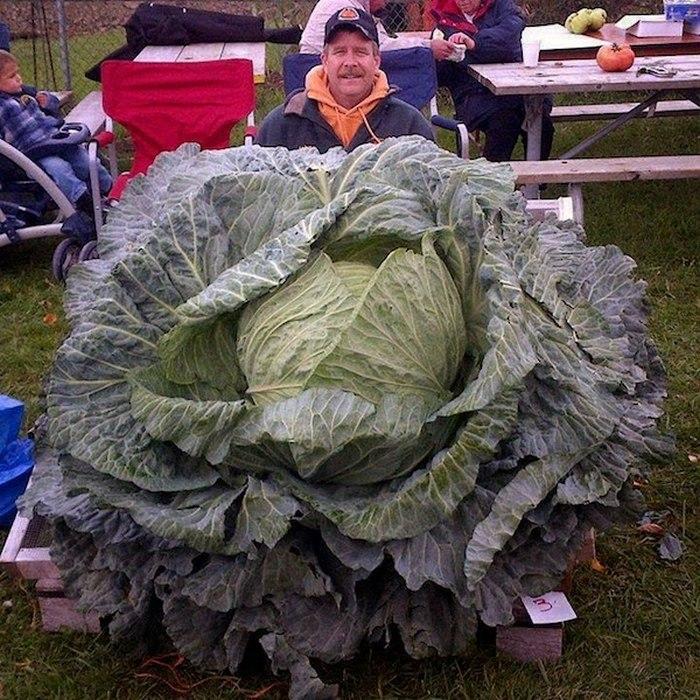 Странная забава: «Взвешивание гигантской капусты».