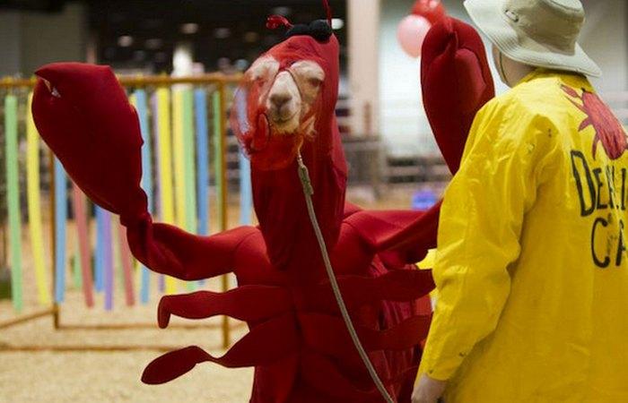Странная забава: «Конкурс лам в костюмах».