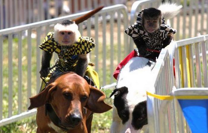 «Банановое дерби» на ярмарке, в штате Джорджия.