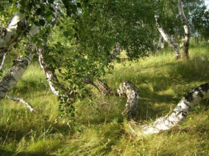 Очень странные деревья.