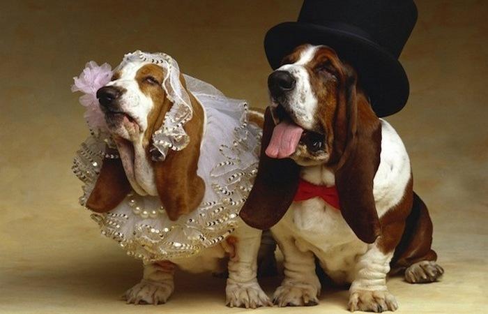 Собачье бракосочетание...