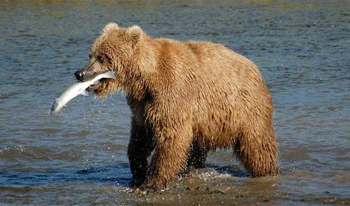 Убежать от медведя невозможно.