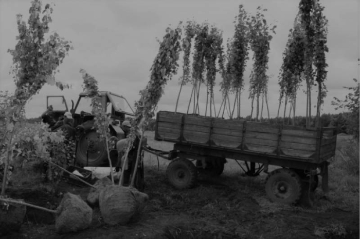 В СССР тополя выращивали массово.  Фото: infocog.ru.