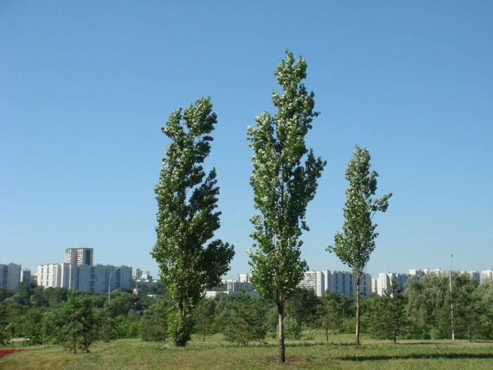 Тополь дерево исключительно полезное.  Фото: fotokto.ru.
