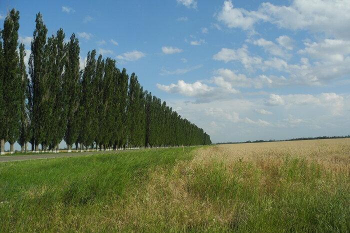Высаживались вдоль многих дорог.  Фото: fotokto.ru.