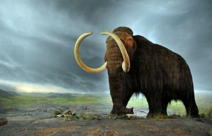 Расшифрован геном шерстистого мамонта.