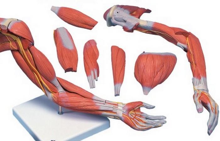 Впервые выращены человеческие мышцы.