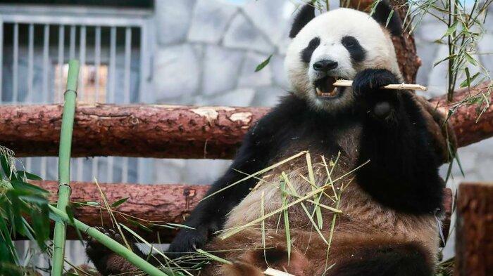 Панда кушает бамбук. |Фото: 24tv.ua.