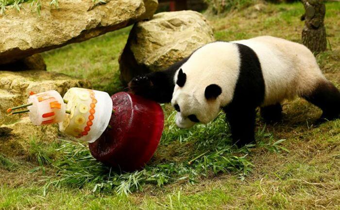 Панда только выглядит милой. |Фото: sanalbasin.com.
