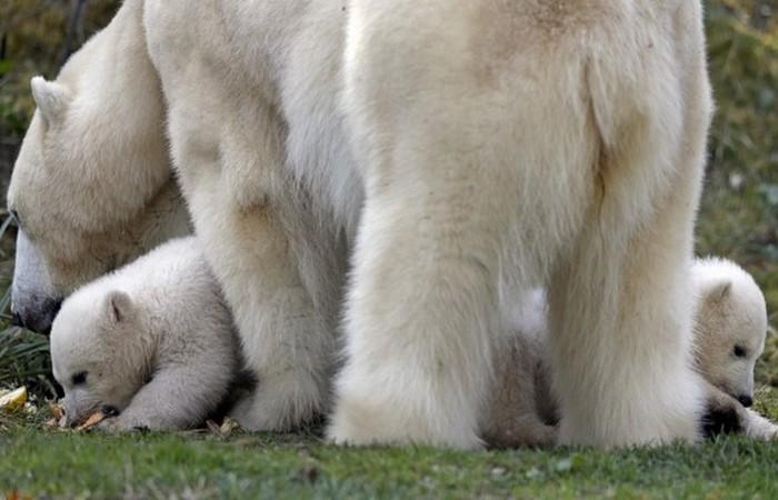 Медвежья семейка.
