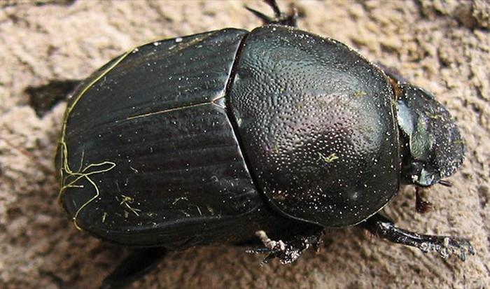 Интересный факт о Вселенной: навозные жуки и Млечный путь.