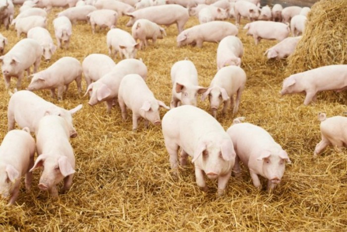 Пластик из мочи свиней.