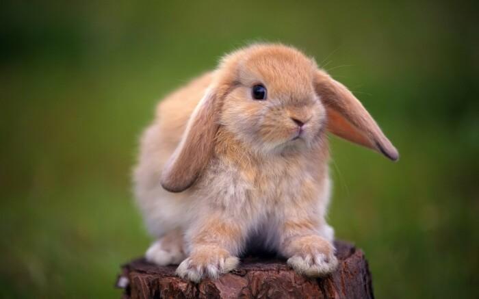 Вот это кролик. |Фото: zastavki.com.