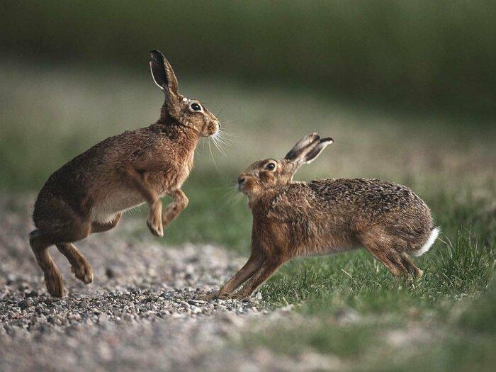 А вот это зайцы. |Фото: belgosohota.by.
