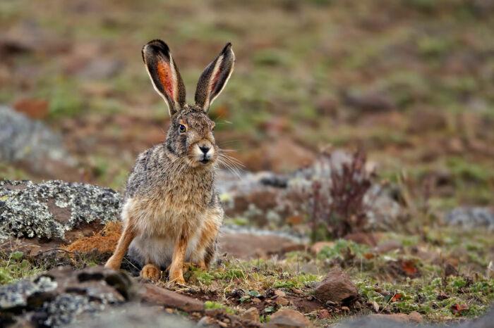 Зайцы абсолютно дикие. |Фото: animal-photos.ru.
