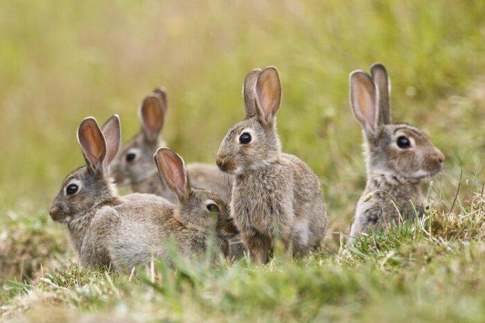 Кролики живут стаями, а зайцы нет. |Фото: apexhose.com.
