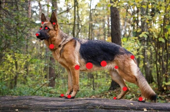 У собаки те же уязвимые места, что и у человека. |Фото: ya.ru.