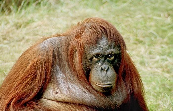 Орангутанг Сибу.