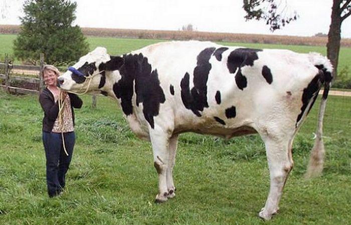 Самая высокая в мире корова.