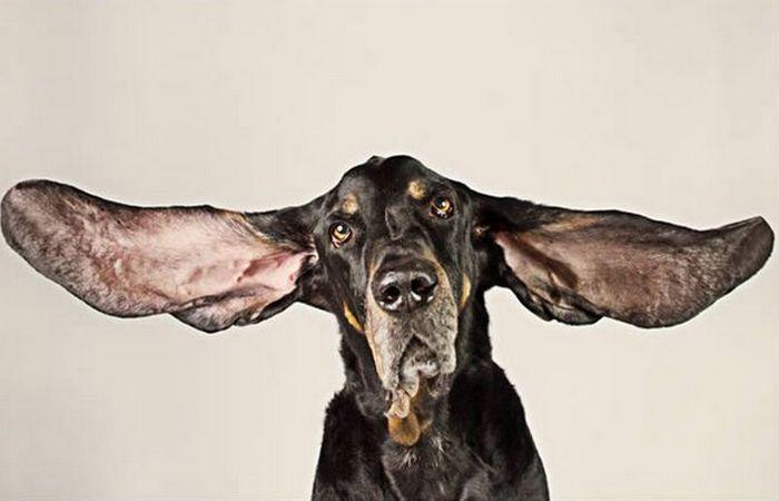 Собака с самыми длинными ушами и другие рекорды из мира животных