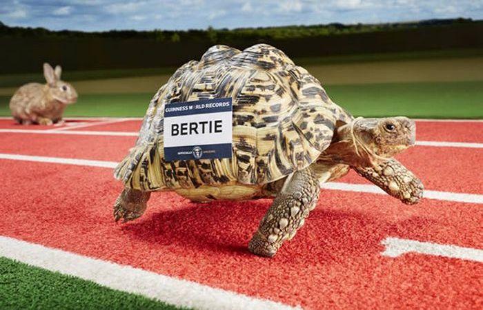 Самый быстрая в мире черепаха.