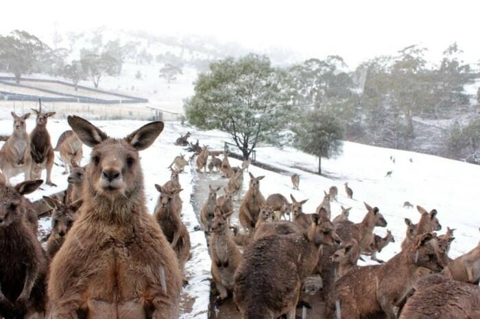 Да, это кенгуру. Да, это Австралия. И да, это снег. |Фото: fishki.net.