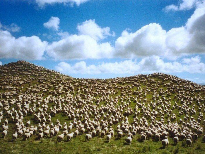 Скотоводство в Австралии играет важнейшую роль. |Фото: viktoriy.ru.