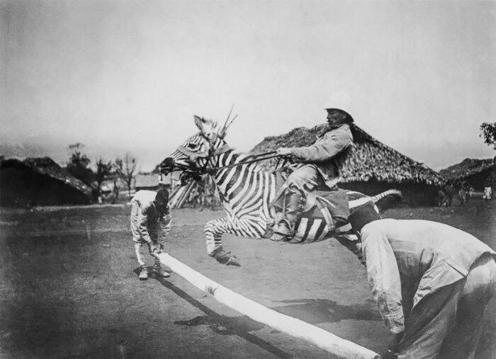 Одомашнивать зебру пытались. |Фото: travelask.ru.