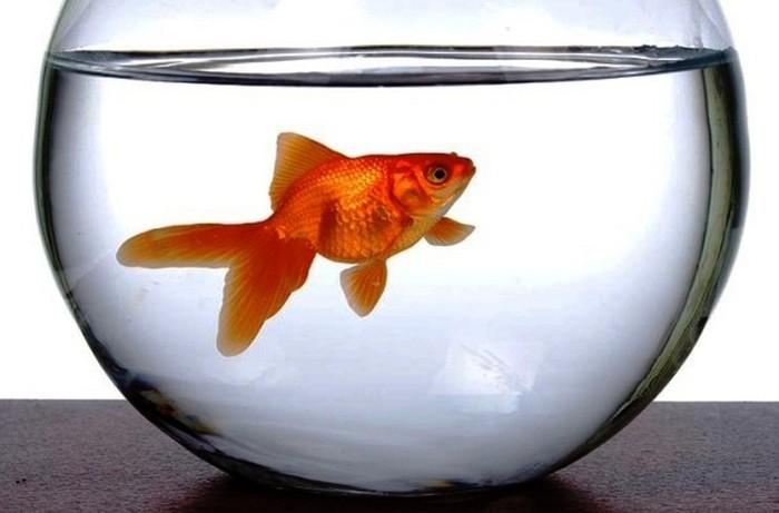 Золотая рыбка только в правильном аквариуме.