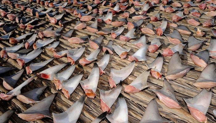 Жуткая медицина: акулий хрящ.