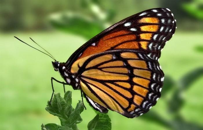 Миграция бабочек.