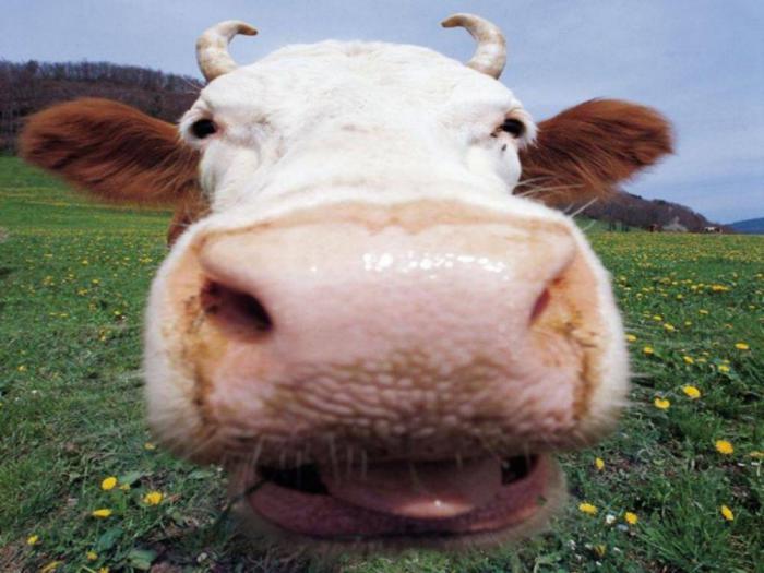 Коровий навоз как средство лечения бородавок.