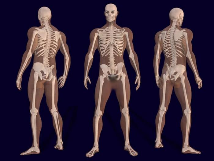 Скелет взрослого человека.