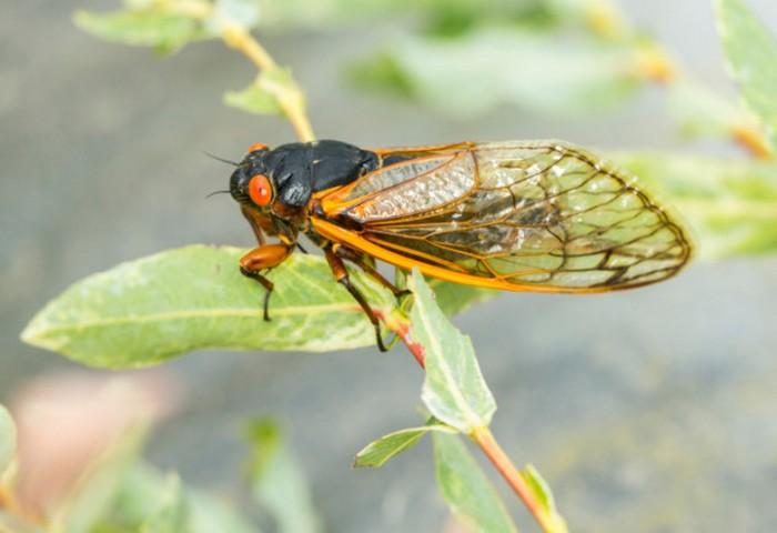 Цикады - таинственные насекомые.