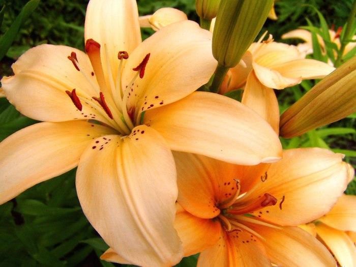 Лилия - самый сексуальный цветок.