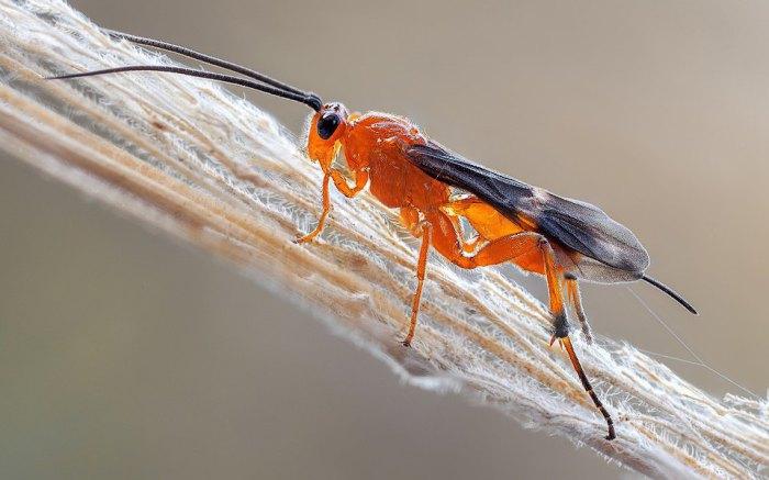 Осы-бракониды - насекомые с вирусом.