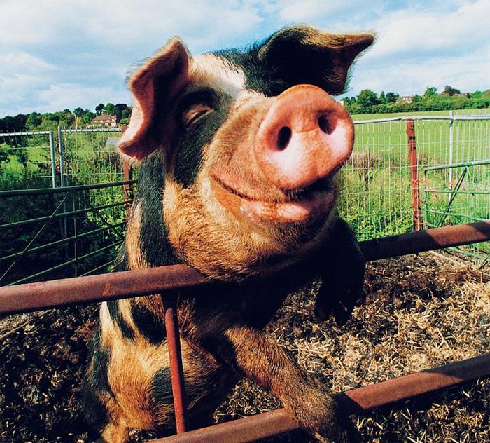 Свинья смешные картинки с надписями, любимый добрый