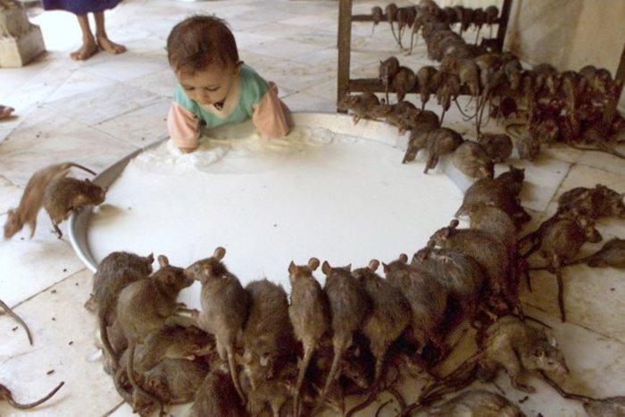 Праздник почитания крыс.