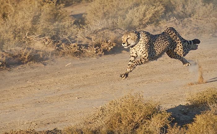 Гепард - самый быстрый представитель животного мира.