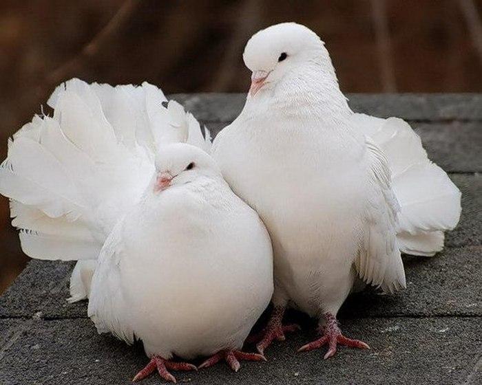 Пара голубей.