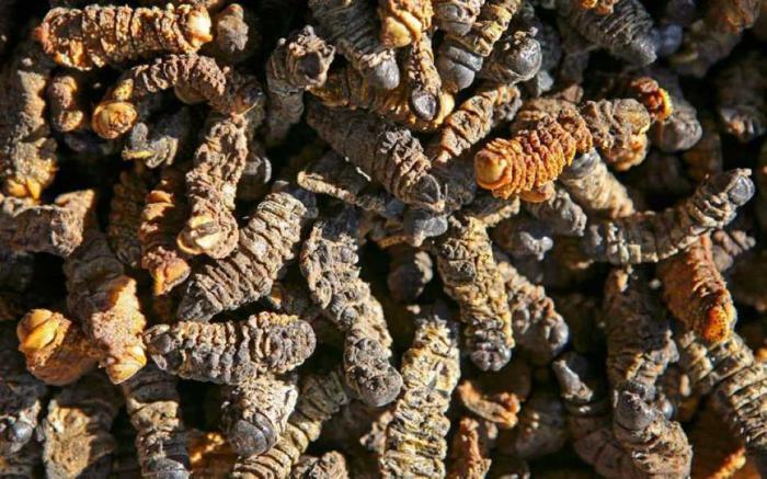 Съедобные сушеные гусеницы.