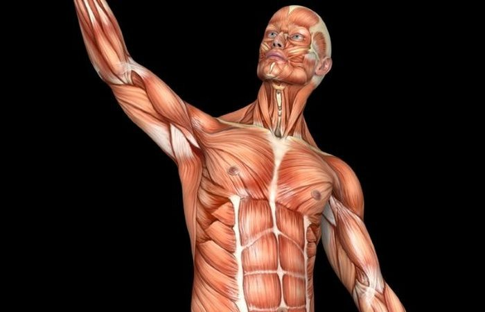 Сколько у человека мышц?