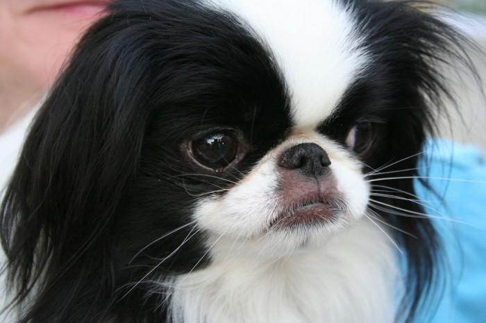 Самые несчастные собаки живут в Японии.